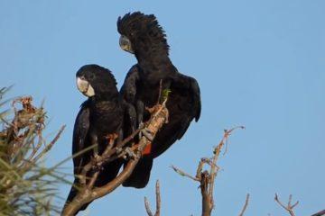 Crni kakadu/ Photo: youtube.com printscreen